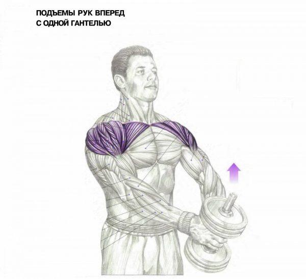 Анатомический рисунок работающих мышц при подъёме одной гантели