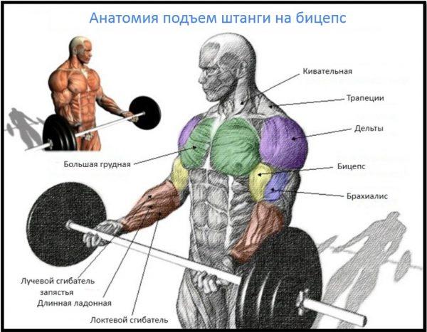 Анатомический рисунок работающих во время подъёма штанги мышц человека