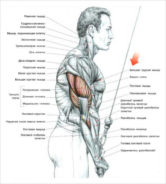 Анатомический рисунок расположения трицепса плеча