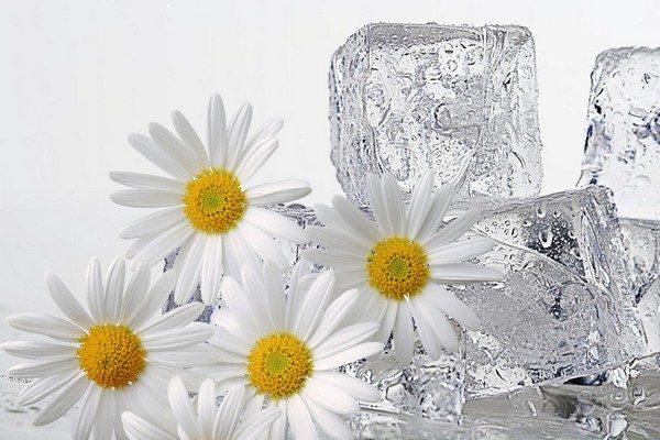 Лёд с ромашкой