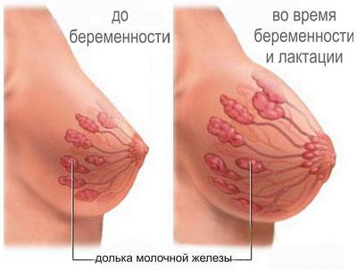 изменения в груди во время беременности и лактации