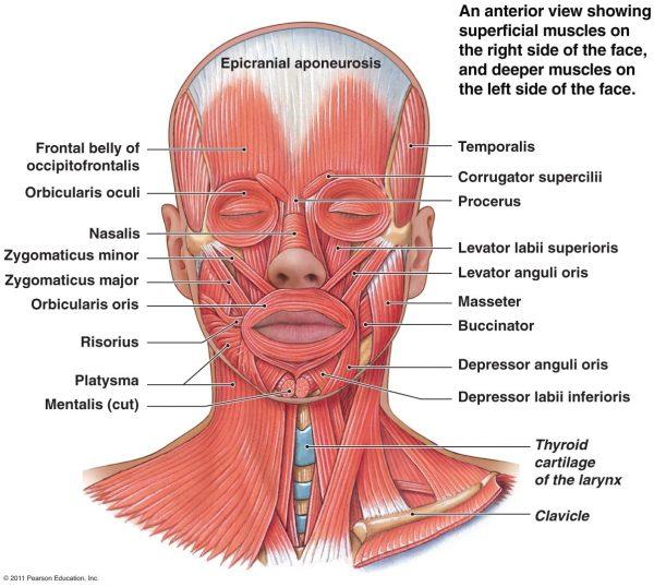 Строение лицевых мышц человека с латинскими названиями