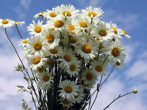 Цветы ромашки на фоне неба
