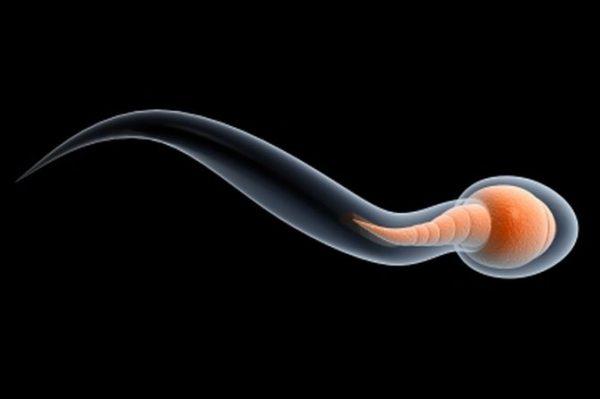 сперматозоид