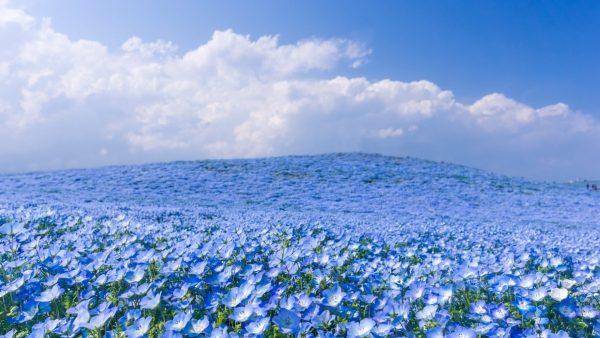 Цветущее льняное поле