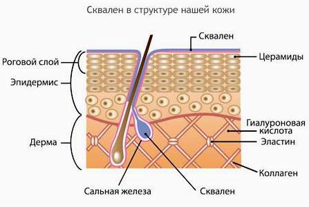 схема расположения сквалена в структуре кожи человека