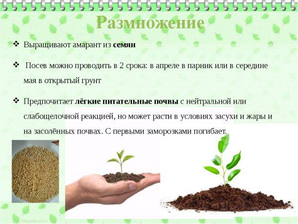 рекомендации по выращиванию амаранта