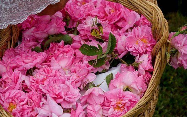 Бутоны дамасской розы