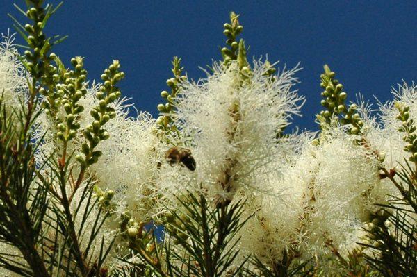 Мелалеука — чайное дерево