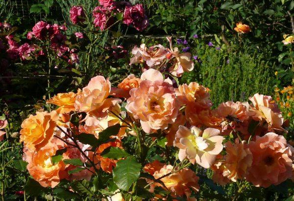 Роза сорта Westerland