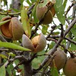 Спелые плоды и косточки миндаля