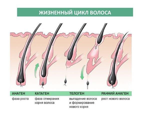 Фазы роста волоса