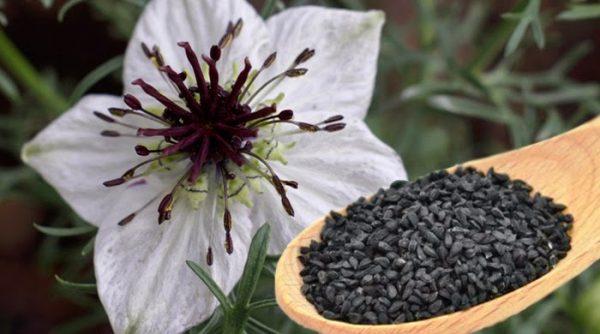 Семена чёрного тмина на деревянной ложке и растение