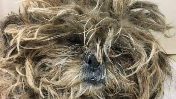Колтуны в шерстяном покрове собаки