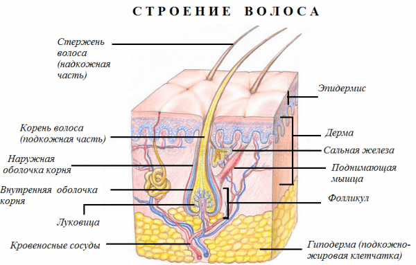 Схема: строение кожи и волоса