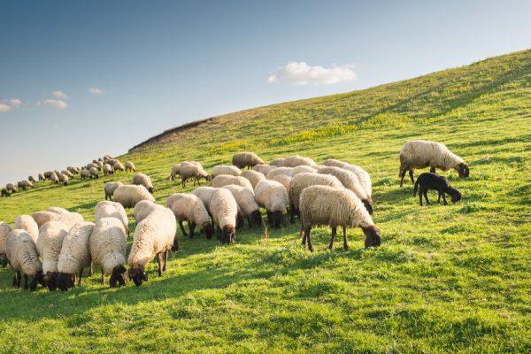 Стадо овец на пастбище