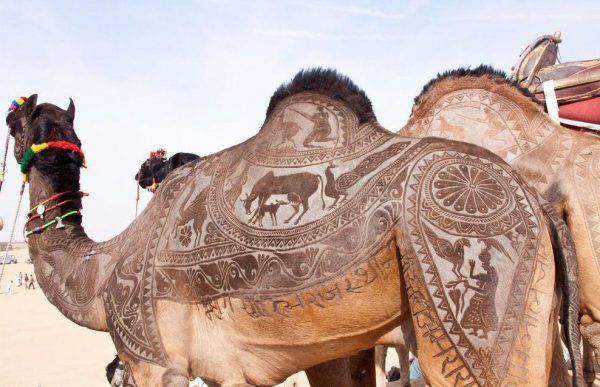 Узорно выстриженный верблюд