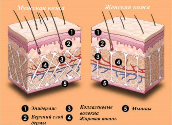 Строение кожи мужчины и женины