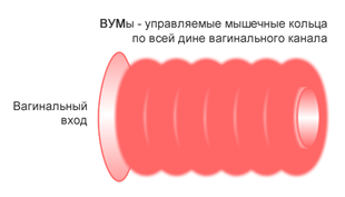 ВУМы — вагинальные управляемые мышцы