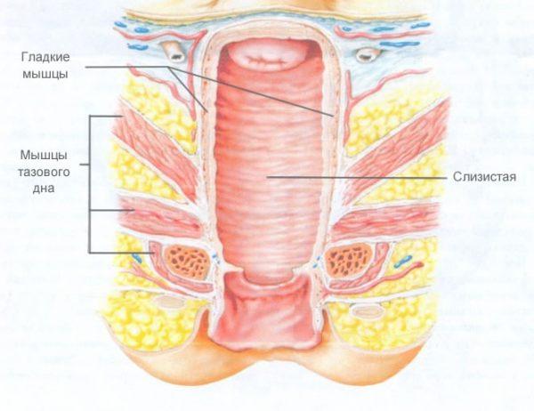 Строение вагинальных мышц