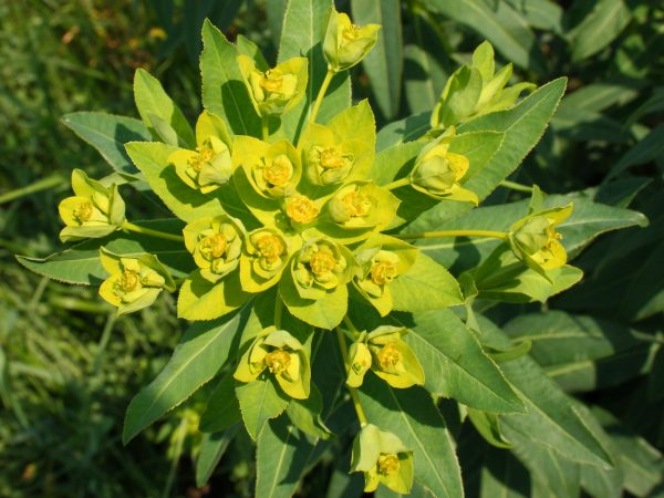 Куст молочая Палласа с бутонами цветков