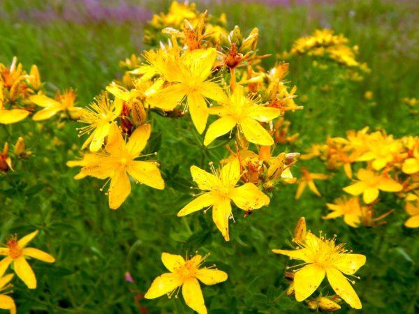 Цветы зверобоя в поле