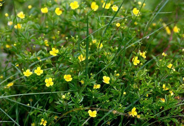 Цветы калгана в поле
