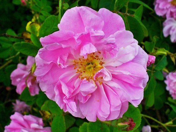 Цветок дамасской розы