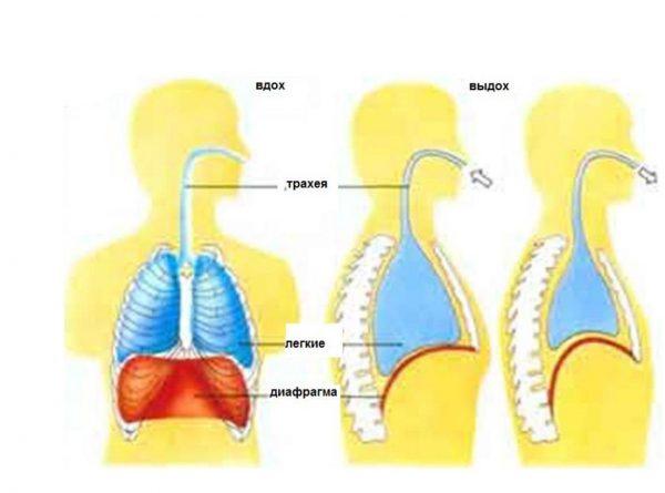 Изображение дыхательных путей человека