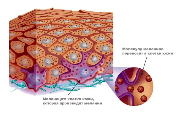 Меланоциты в коже
