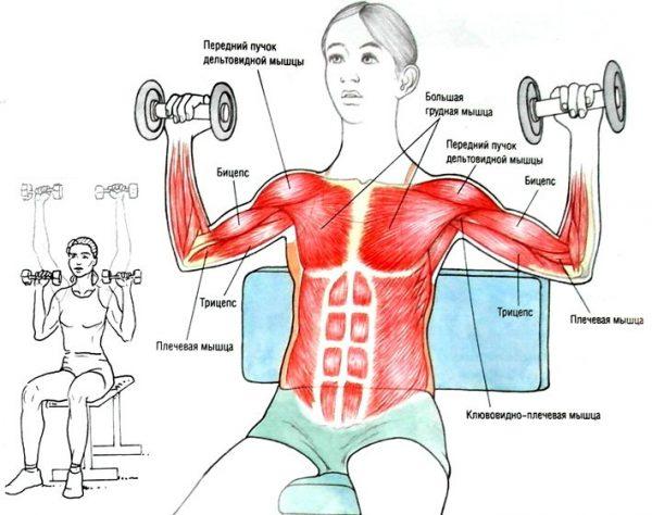 Мышцы рук и плеч