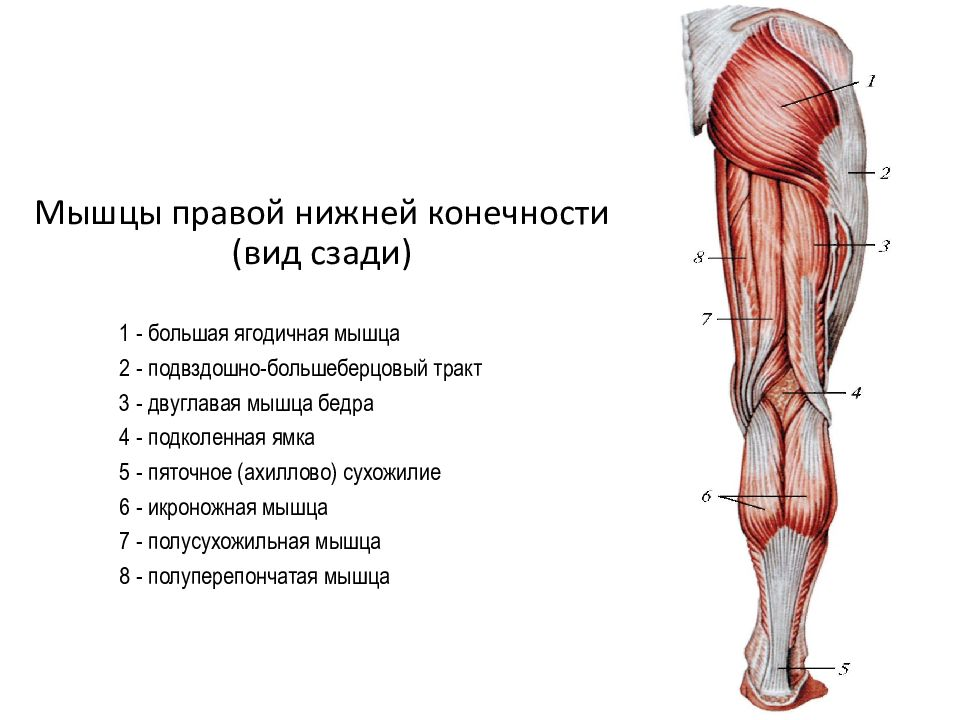 тех названия мышц ног с картинками билет